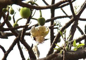 Hoa Bao Báp