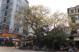 Cây bún duy nhất tại Hà Nội