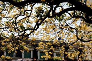 Cây bún đang trổ hoa