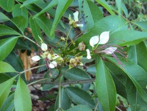 Gỗ bún làm đồ gia dụng, lá non hay hoa có thể ăn, quả , vỏ, lá bún để chữa bệnh