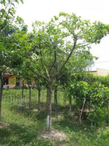 Cây chay sống lâu lăm, tán lá rộng và chỉ có tại Việt Nam