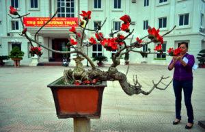 Cây hoa gạo bonsai