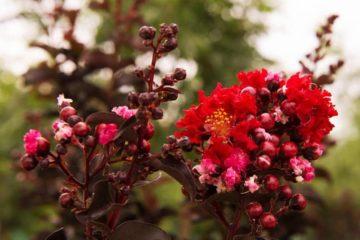 Cây Tường Vi Đỏ Huyết Long – Tường Vi Huyết Long, Red Hot