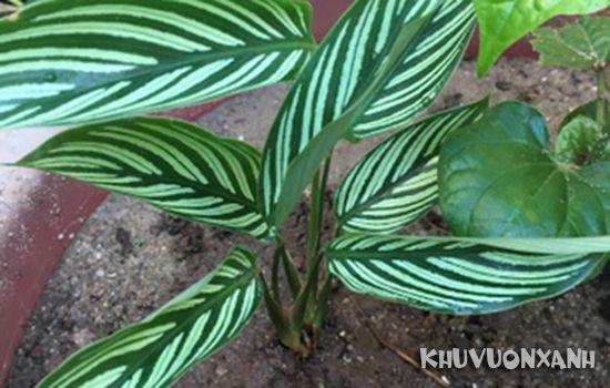 Cây đuôi phụng có độc không, có nên trồng cây đuôi công trong nhà