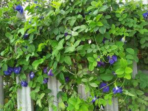 Hàng rào hoa đậu biếc