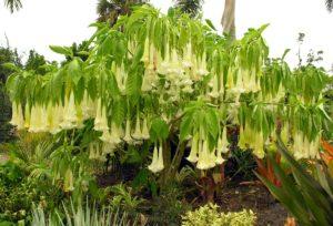 Hoa đẹp nhưng lại chứa chất độc gây ảo giác