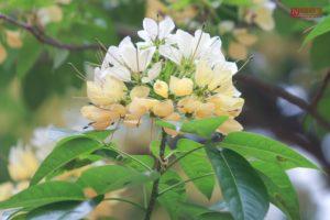 Hoa bún thường nở thành chùm
