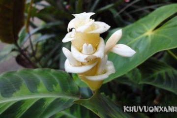 Hoa đuôi công nở mùa nào? Cây đuôi phụng nở hoa có ý nghĩa gì?