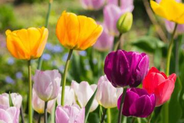 Cây hoa Tulip – Cây Tuylip
