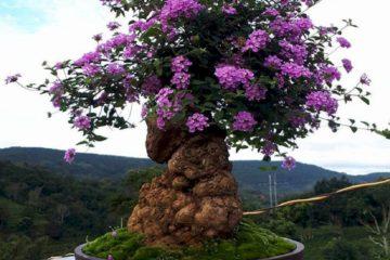 Cây hoa Ngũ Sắc Tím – Cây Trâm Ổi tím