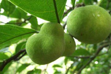 Cây Chay – Cây Chay ăn Trầu