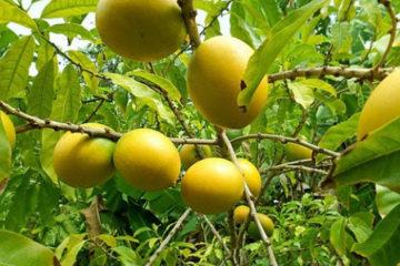 Cây Vú Sữa Hoàng Kim – Cây ăn quả kinh tế