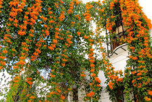 Cây hoa leo giàn và sai hoa nên trang trí rất bắt mắt