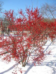 Cây được sử dụng làm hàng rào hay trang trí ngoại cảnh, sân vườn