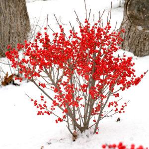 Cây hoa đào đông