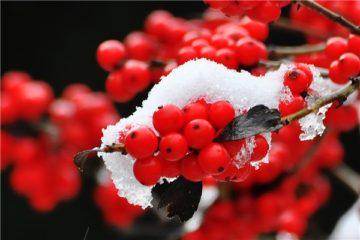 Cây hoa Đào Đông – Hoa đào ilex, Đào Đỏ, Winterberry