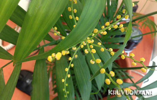 cây cau tiểu trâm có hoa