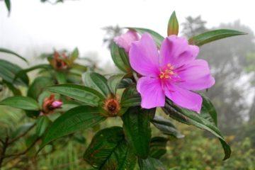 Cây hoa Mua – Cây Mua, Loài hoa dại tuyệt đẹp