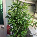 Cách trồng cây trúc nhật