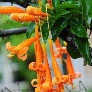cây hoa leo chùm ớt