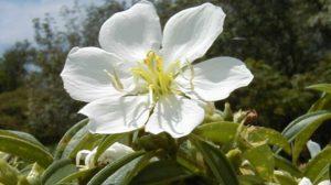 Hoa mua trắng