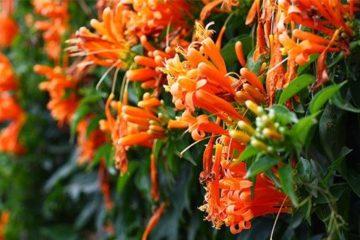 Cây Hoa Leo Chùm Ớt – Hoa Lửa, Hoa Rạng Đông