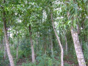 Cây Dó Trầm trong tự nhiên có nhiều tên gọi như Cây Trầm, Trầm Hương, Dó Me...