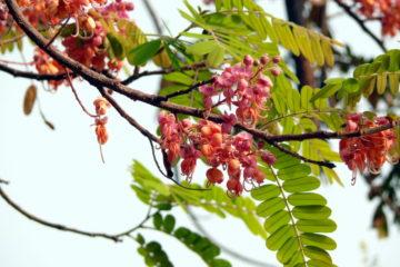 Cây Ô Môi – Bọ Cạp Nước, Cây quả Canhkina