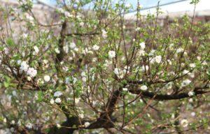 Cây Mai Trắng hoa trắng và lúc tàn lại chuyển đỏ hồng rất đẹp