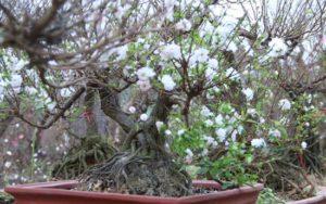 cây mai trắng dùng chủ yếu trang trí mang lại sắc xuân và may mắn cho ngôi nhà