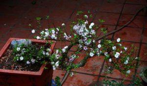 Cây mai trắng trồng chậu