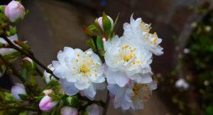 Cây hoa mai trắng