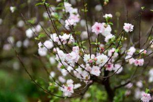 Cây hoa Mai Trắng hay còn gọi là Nhất Chi Mai