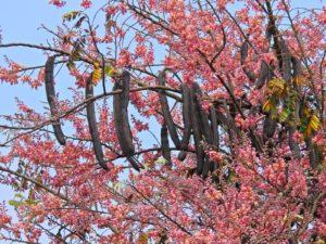 Hoa và quả ô môi