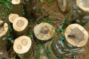 Gỗ Trầm trong tự nhiên là gỗ cây Dó Trầm dính nhựa, tinh dầu cây cộng thêm vi sinh vật mà tạo thành