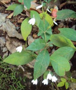 Cây cò trắng rất dễ trồng và chăm sóc