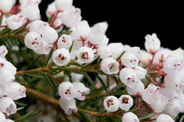 Cây hoa thạch nam – hoa Erica, thạch thảo Châu Âu