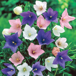Các màu hoa của cây cát cánh