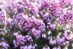 cây erica x darlyensis-furzeyOptimized