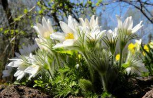 Cây hoa hải quỳ thường được trồng bằng hạt