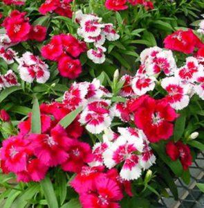 Cây hoa mã tiên nữ