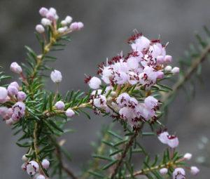 Cây hoa Thạch Nam trắng