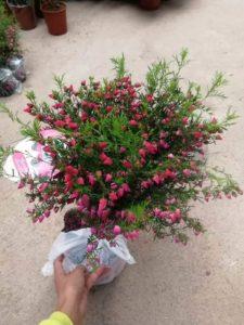 Cây hoa thạch nam giống
