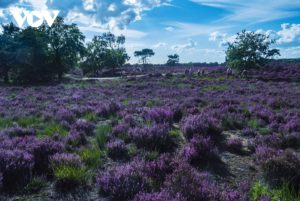 Cánh đồng cây hoa thạch nam tại Châu Âu