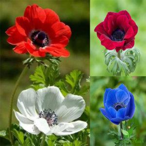 Các màu sắc của hoa hải quỳ