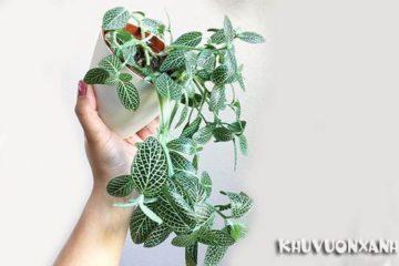 Cách nhân giống cây cẩm nhung, hướng dẫn cách trồng cụ thể