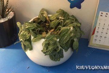 Cây cẩm nhung bị rụng lá, héo lá, nguyên nhân & cách khắc phục