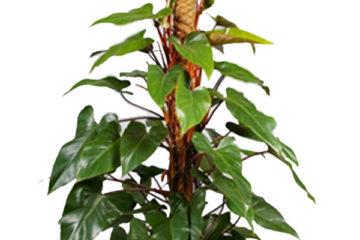 Cây Hồng Diệp Môn – Cây Saphia