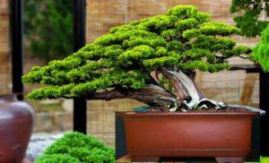 Cây trắc bách diệp bonsai