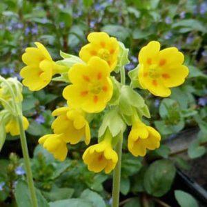 Hoa tượng trưng cho một tình yêu thầm lặng, một tình yêu dấu kín.
